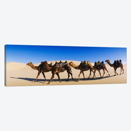 Camels walking in the desert Canvas Print #PIM1544} by Panoramic Images Canvas Art Print