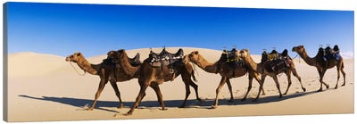 Camels walking in the desert Canvas Art Print