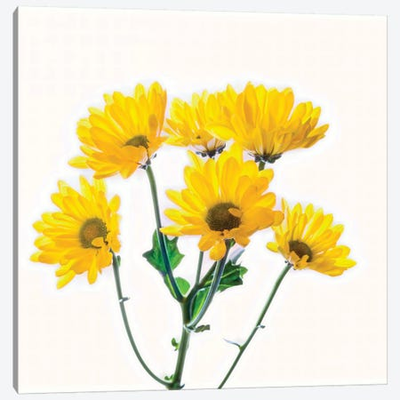 Close-up of yellow mums flowers against white background Canvas Print #PIM15450} by Panoramic Images Art Print