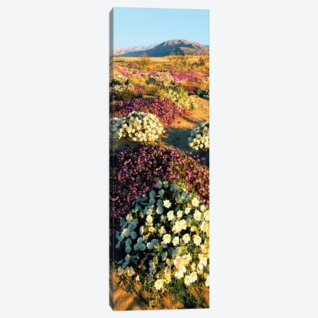 Clumps of flowers of Sand Verbena and Dune Primrose, Anza-Borrego Desert State Park, California, USA Canvas Print #PIM15457} by Panoramic Images Canvas Artwork