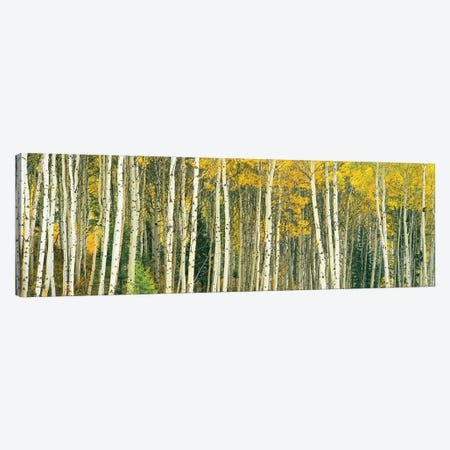 Dense of Aspen trees in a forest, Grand Teton National Park, Teton County, Wyoming, USA Canvas Print #PIM15462} by Panoramic Images Canvas Art
