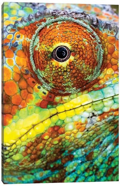 Extreme close-up of Panther chameleon , Madagascar Canvas Art Print