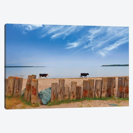 Feisian Cattle on the Cunnigar, Dungarvan Bay, County Waterford, Ireland Canvas Print #PIM15477} by Panoramic Images Canvas Artwork