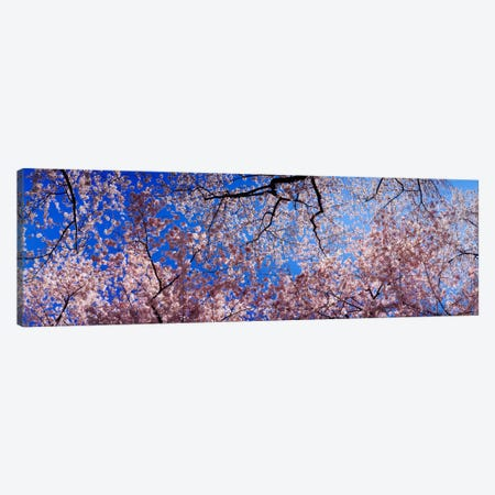 Low angle view of cherry blossom treesWashington State, USA Canvas Print #PIM1547} by Panoramic Images Canvas Print