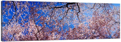 Low angle view of cherry blossom treesWashington State, USA Canvas Art Print