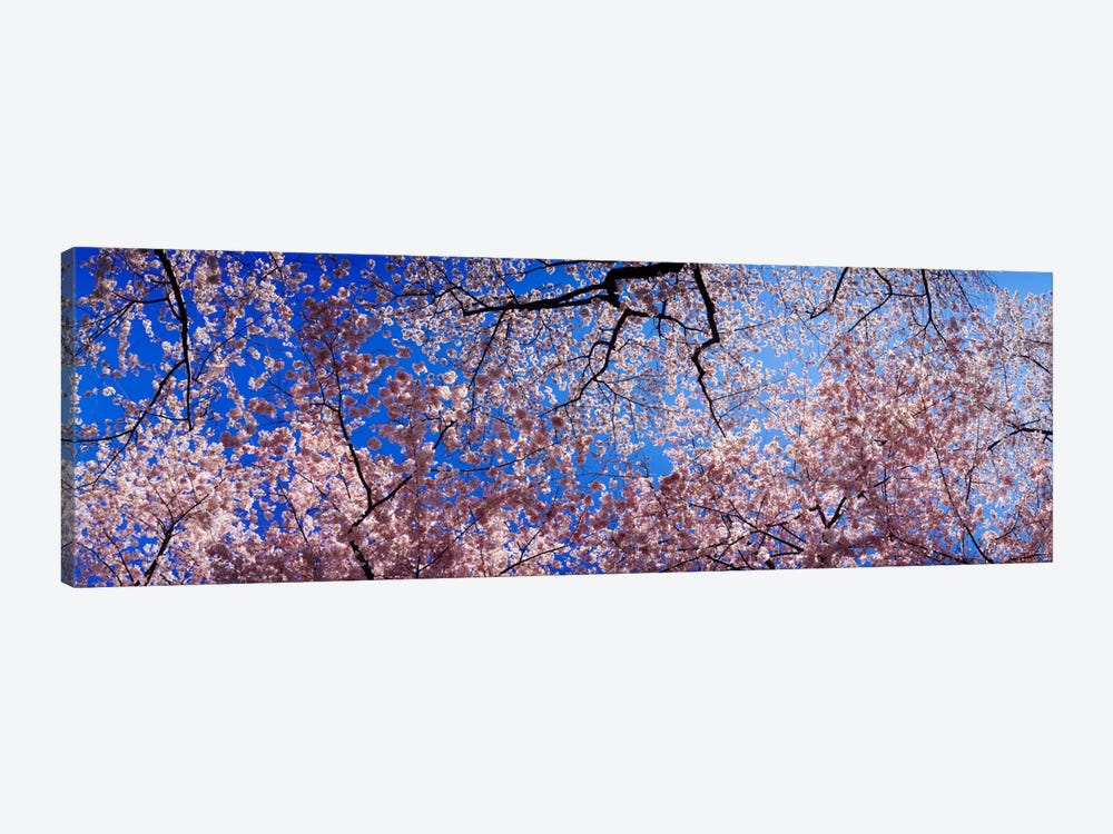 Low angle view of cherry blossom treesWashington State, USA by Panoramic Images 1-piece Canvas Print