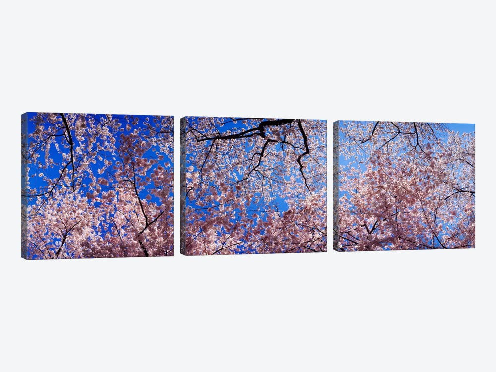 Low angle view of cherry blossom treesWashington State, USA by Panoramic Images 3-piece Canvas Print