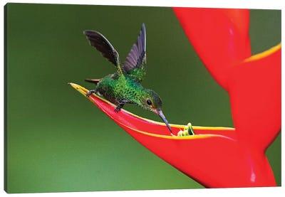 Fiery-throated hummingbird  feeding on red wildflower, Sarapiqui, Costa Rica Canvas Art Print
