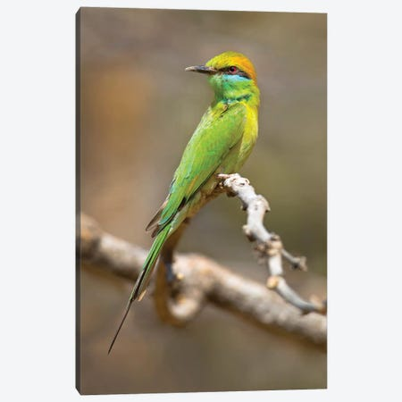 Green bee-eater  perching on branch, India 3-Piece Canvas #PIM15501} by Panoramic Images Canvas Print