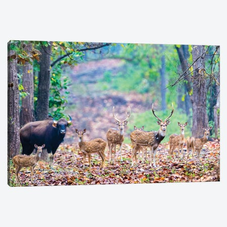 Herd of Spotted deer  and gaur also called the Indian bison , India Canvas Print #PIM15506} by Panoramic Images Canvas Artwork
