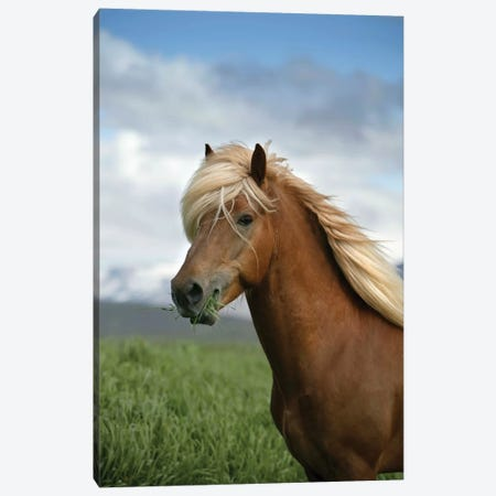 Iceland Horse, Iceland Canvas Print #PIM15536} by Panoramic Images Canvas Art Print