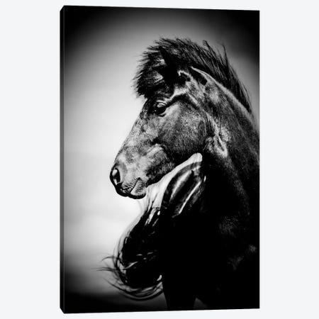 Icelandic Horse, Iceland Canvas Print #PIM15537} by Panoramic Images Canvas Print