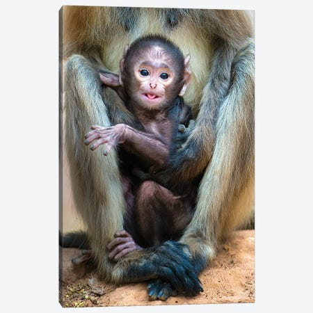Infant Langur monkey looking at camera, India Canvas Print #PIM15541} by Panoramic Images Canvas Print