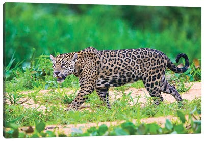 Jaguar  profile view, Porto Jofre, Mato Grosso, Brazil Canvas Art Print