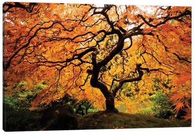 Japanese maple tree in autumn, Japanese Garden, Portland, Oregon, USA Canvas Art Print