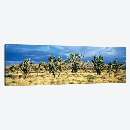 Joshua trees in the Mojave National Preserve, Mojave Desert, San Bernardino County, California, USA Canvas Print #PIM15546} by Panoramic Images Canvas Art
