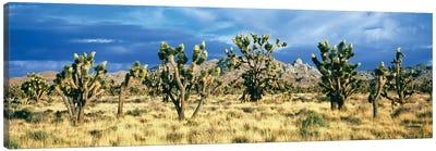 Joshua trees in the Mojave National Preserve, Mojave Desert, San Bernardino County, California, USA Canvas Art Print