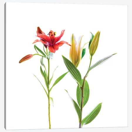 Lilies against white background Canvas Print #PIM15560} by Panoramic Images Canvas Print