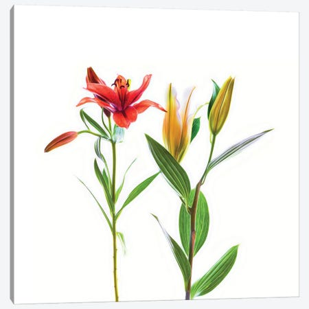 Lilies on a white background Canvas Print #PIM15562} by Panoramic Images Canvas Art Print