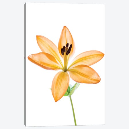 Lilies on a white background Canvas Print #PIM15564} by Panoramic Images Canvas Wall Art