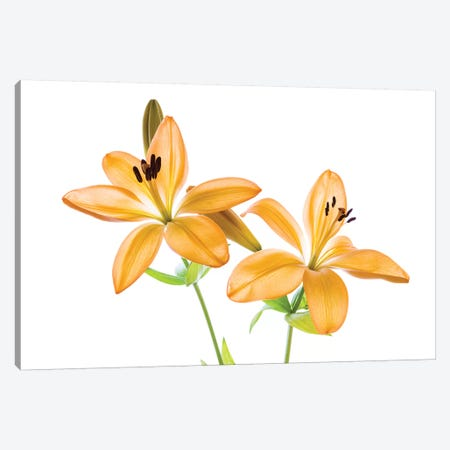 Lilies on a white background Canvas Print #PIM15566} by Panoramic Images Canvas Wall Art