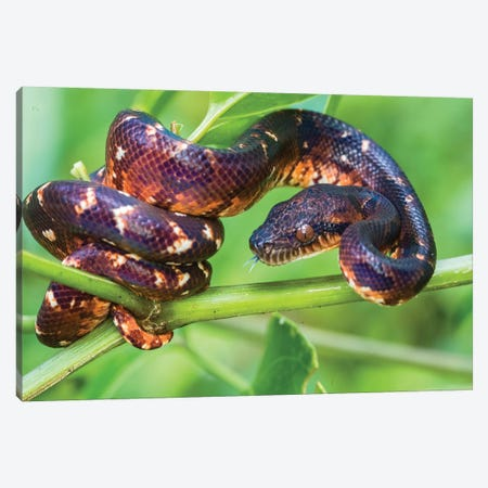 Madagascar ground boa , Madagascar Canvas Print #PIM15584} by Panoramic Images Canvas Artwork
