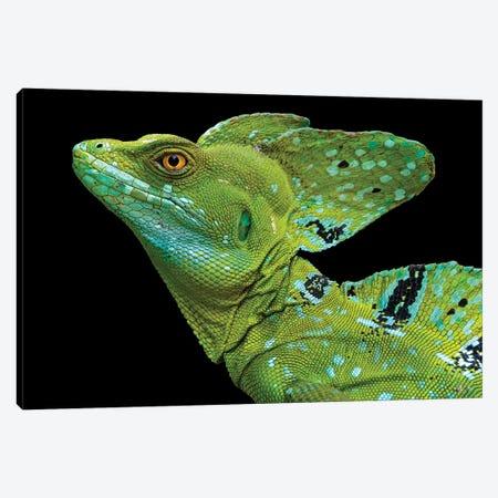 Male plumed basilisk  or green basilisk, Sarapiqui, Costa Rica Canvas Print #PIM15585} by Panoramic Images Canvas Artwork