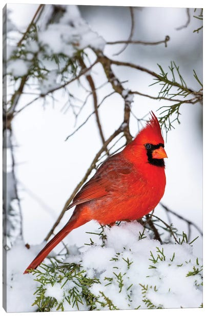Northern Cardinal  perching on snowcapped juniper tree branch, Marion Co., Illinois, USA Canvas Art Print