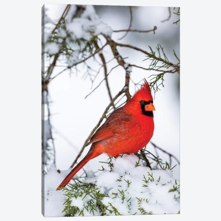 Northern Cardinal  perching on snowcapped juniper tree branch, Marion Co., Illinois, USA Canvas Print #PIM15615} by Panoramic Images Canvas Artwork