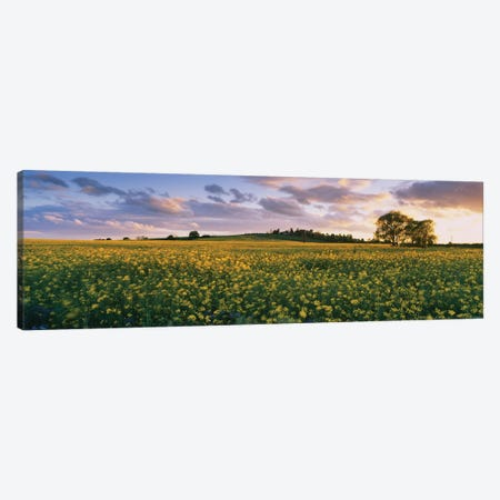 Oilseed rapes  in a field, St. Leonard's, Holme-on-Spalding-Moor, East Yorkshire, England Canvas Print #PIM15617} by Panoramic Images Canvas Artwork