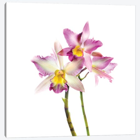 Orchids against white background 3-Piece Canvas #PIM15621} by Panoramic Images Canvas Artwork