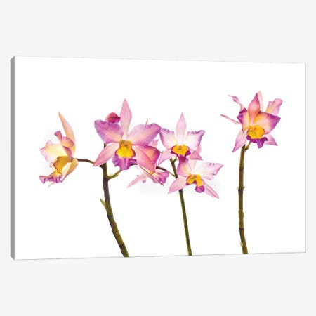 Orchids against white background Canvas Print #PIM15622} by Panoramic Images Canvas Wall Art