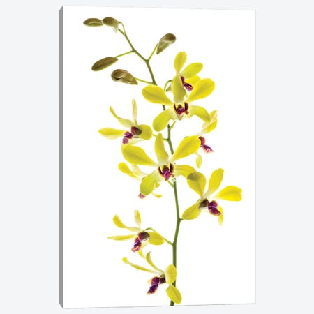 Orchids against white background Canvas Print #PIM15623} by Panoramic Images Canvas Artwork