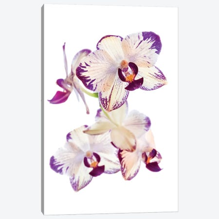 Orchids against white background Canvas Print #PIM15624} by Panoramic Images Canvas Print