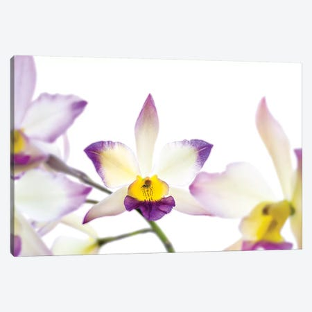 Orchids against white background Canvas Print #PIM15626} by Panoramic Images Canvas Print
