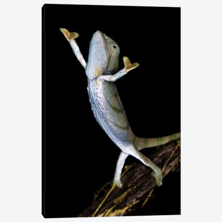 Parsons chameleon , Madagascar Canvas Print #PIM15632} by Panoramic Images Canvas Art Print