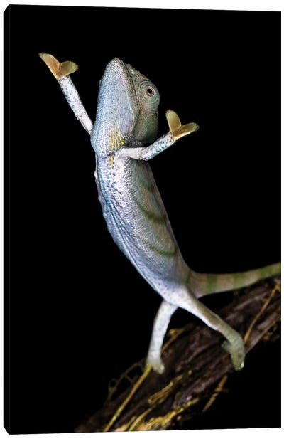 Parsons chameleon , Madagascar Canvas Art Print