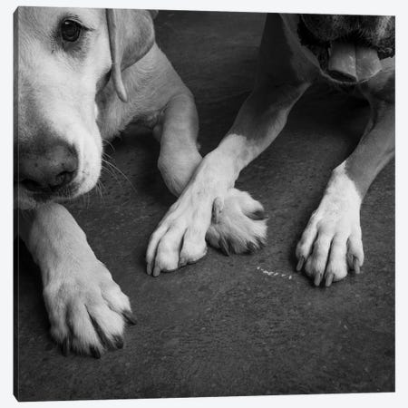 Portrait of a Boxer Dog and Golden Labrador Dog Canvas Print #PIM15648} by Panoramic Images Canvas Wall Art