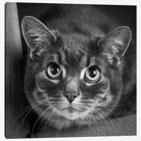 Portrait of a Cat on a Chair Canvas Print #PIM15653} by Panoramic Images Canvas Print