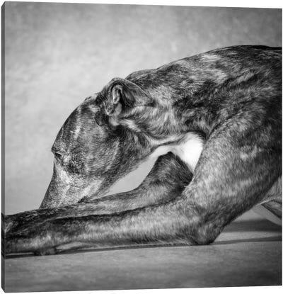 Portrait of a Greyhound dog Canvas Art Print