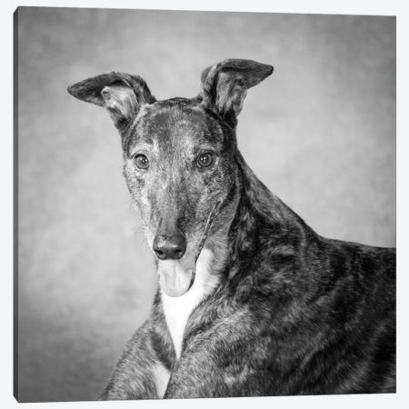 Portrait of a Greyhound dog Canvas Print #PIM15655} by Panoramic Images Canvas Art