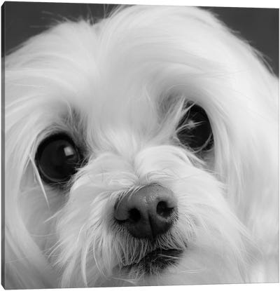 Portrait of a Maltese Dog Canvas Art Print
