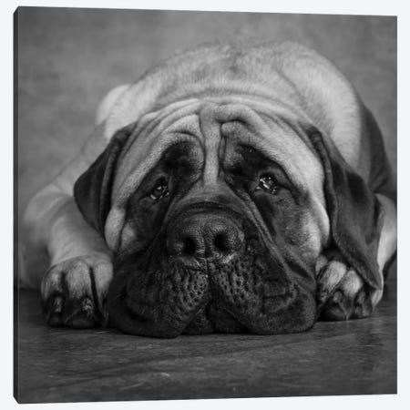 Portrait of a Mastiff 3-Piece Canvas #PIM15658} by Panoramic Images Canvas Art Print
