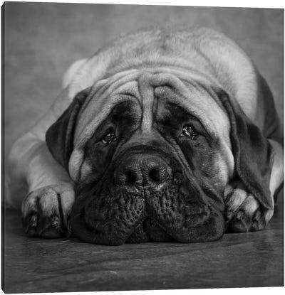 Portrait of a Mastiff Canvas Art Print