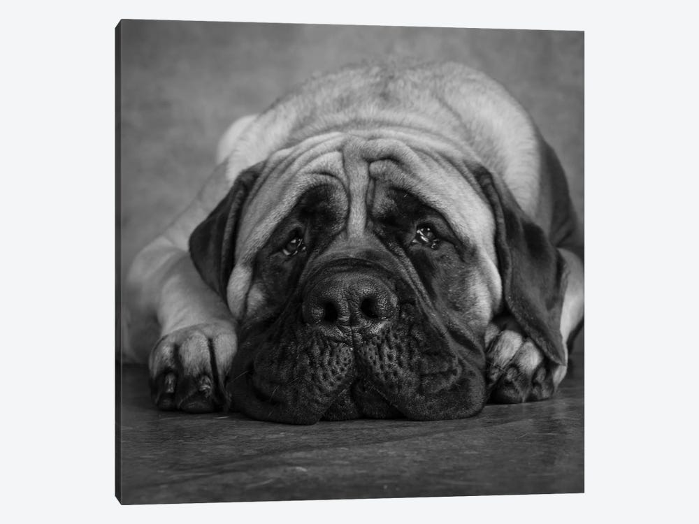 Portrait of a Mastiff by Panoramic Images 1-piece Canvas Art Print