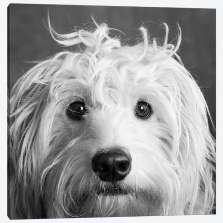 Portrait of a Mini Golden Doodle Dog Canvas Print #PIM15659} by Panoramic Images Canvas Art Print