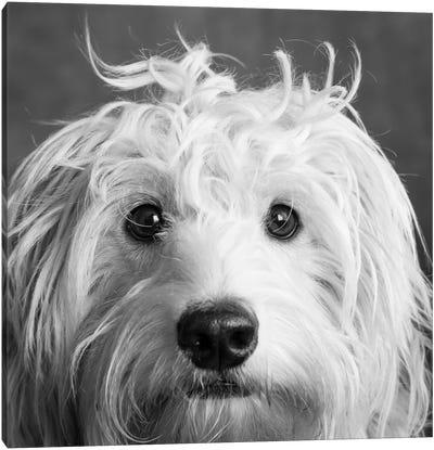 Portrait of a Mini Golden Doodle Dog Canvas Art Print