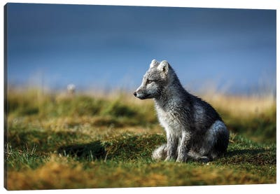 Portrait of Arctic Fox, Alopex lagopus, Iceland Canvas Art Print