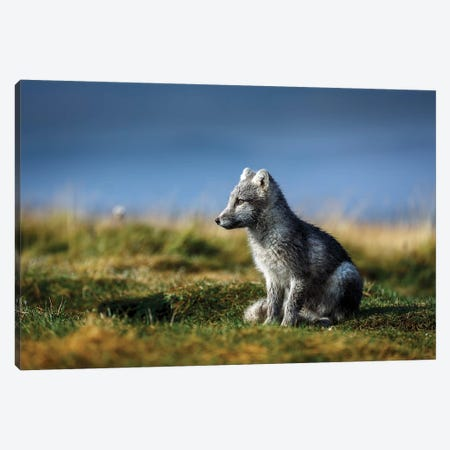Portrait of Arctic Fox, Alopex lagopus, Iceland Canvas Print #PIM15662} by Panoramic Images Canvas Art