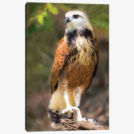 Portrait of black-collared hawk perching on tree branch, Porto Jofre, Mato Grosso, Brazil Canvas Print #PIM15665} by Panoramic Images Canvas Print